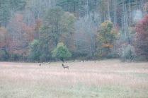 10-24-13 cow elks in Cataloochee