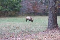 10-24-13 bull elk in Cataloocheeimg_3342.jpg