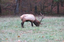 10-24-13 bull elk without a collar or ear tag in Cataloochee