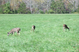 10-25-13 We saw a large number of White Tailed Deer at Cades Cove - in the early afternoon