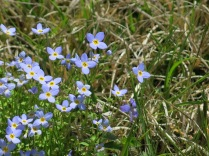 Thyme-Leaved Bluets, Balsam Mountain Road