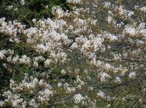 Unidentified Flowering tree along Newfound Gap Road