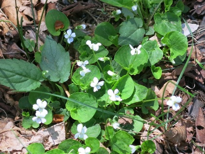 Northern White Violet, Balsam Mountain Road, GSM
