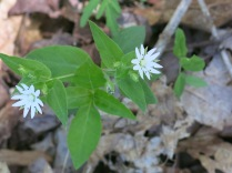 Star Chickweed, Balsam Mountain Road