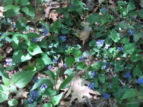 Common Blue Violet, Balsam Mountain Road, GSM