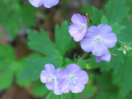 Wild Geranium - Hwy 32 on way to Big Creek