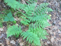 Rattlesnake Fern, Trillium leaves, Baxter Creek Trail, Great Smokies