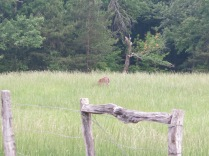 We saw about five white tailed deer but they were grazing in high grass at Cades Cove...