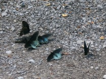 unidentified butterflies, Ramsey Cascades Road, Great Smokies
