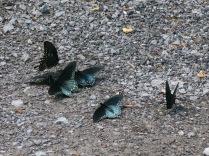 unidentified butterflies, Ramsey Cascades Road, Great Smokies