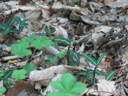 Spotted Wintergreen, Ramsey Cascades Trail, Great Smokies
