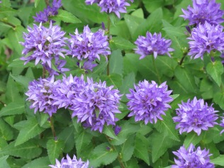unidentified flowers, Daniel Boone Home, Defiance, MO. The flower clusters are about 3 inches across in size.