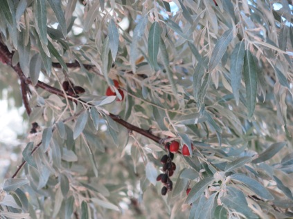 Unidentified tree just outside our RV window... these berries/nuts are all over the ground. The bark is reddish in color. The leaves look silvery from a distance.