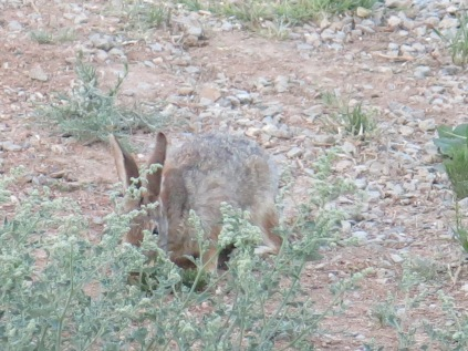 jack rabbit near our campsite