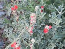 Scarlet Globemallow (Common Globemallow) Sphaeraicea coccinea, Santa Fe Skies RV Park