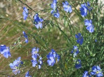 Wild Blue Flax, Linum lewisli, Santa Fe Skies RV Park