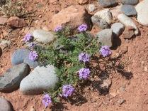 Dakota Vervain (Pink Vervain, Verbena) Glandularia bipinnatifida, Turquoise Trail sculpture garden