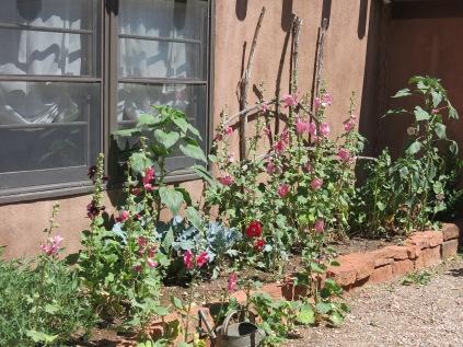 hollyhocks i a garden in Cerrillos, NM