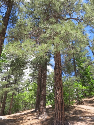 Ponderosa Pine, Cibola National Forest