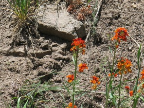 Western Wallflower, Erysimum capitatum, along Sandia Crest National Scenic Byway