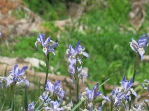Rocky Mountain Iris, Iris missiouriensis, along Sandia Crest National Scenic Byway