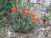 Foothills Paintbrush (Indian Paintbrush), Castilleja integra - Sandia Crest