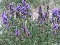 Silvery Lupine, Lupinus argenteus, Sandia Crest