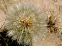Yellow Salsify, Trapogon dubius, Bandelier NM - Seed puffballs are 3 inches in diameter