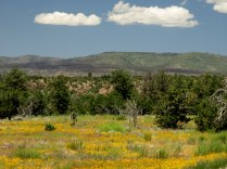 Driving through Bandelier National Monument, carpets of yellow flowers...