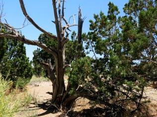 twisted Juniper tree trunk...
