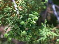 Juniper berries, Bandelier National Monument