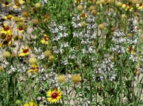 Blanket Flowers, and unidentified white flowers, Main Loop Trail, Bandelier NM