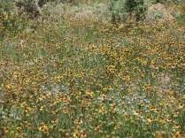the bottom of the canyon is covered in past peak Blanket Flowers
