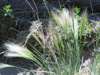 unidentified grass, Bandelier NM