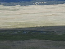 herd of Elk in the Grande Valle