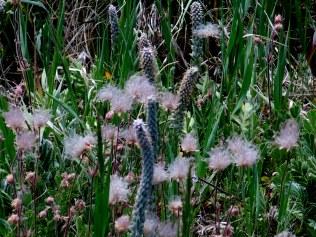 Spike Verbena (New Mexico Vervain), Verbena macdougalii - amidst Apache Plume