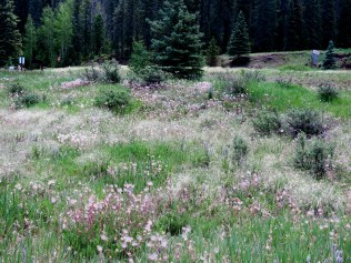 flowers and grasses by picnic area, Santa Fe National Forest
