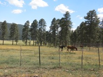 there are some horses, 800 head of cattle, and several herds of Elk grazing here.