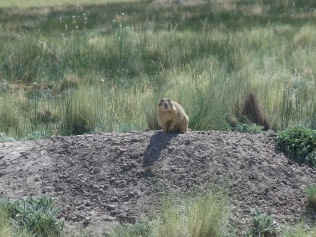 Gunnison's Prairie Dog - Valles Caldera National Preserve