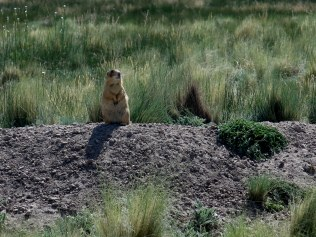 Gunnison's Prairie Dog - one of five species of prairie dog in the US