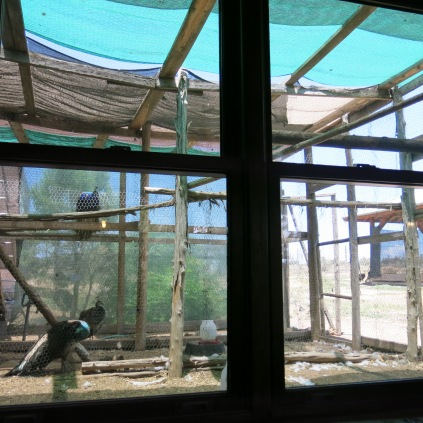 view outside our window of the peahens and chicks