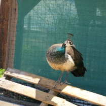 some of the peacocks moved freely outside the pen