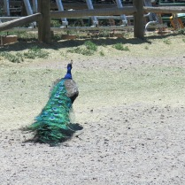 I love the tails of the peacocks...