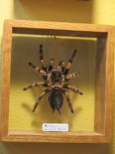 Red Knee Tarantula - $240