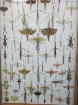 I had never seen walking sticks that had wings... and many of these were huge