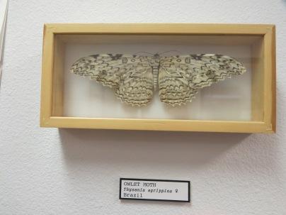 Owlet Moth from Brazil