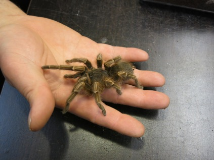 Tarantula -- he was amazingly soft to touch