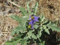 Silverleaf Nightshade, Solanu elaeagnifolium - Villanueva SP