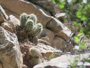 Scarlet Hedgehog Cactus, Echinocereus, Villanueva SP