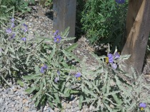 Silverleaf Nightshade, Solanum elaeagnifolium - NM 14 S from Santa Fe to Madrid